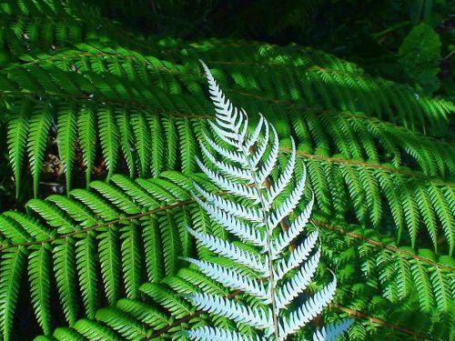 Silver fern Leaf