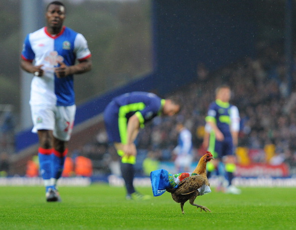 A Chicken is put on the pitch by Blackbu